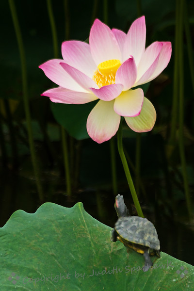 Admiring the Lotus