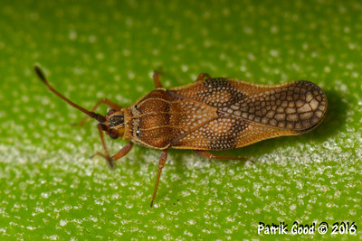 Lantana Lace Bug