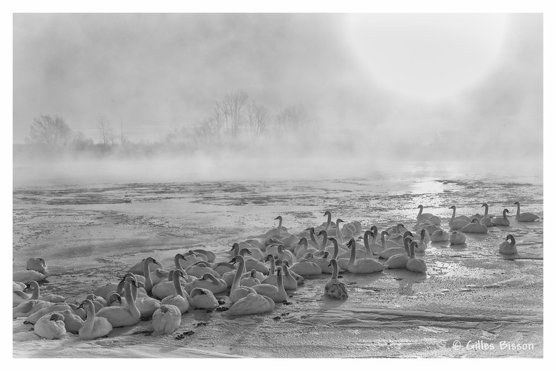 Morning mist with swans, Barcovan Beach Rd, Feb 06 2014, #0079, Canon 6D 1/100 F14 ISO200