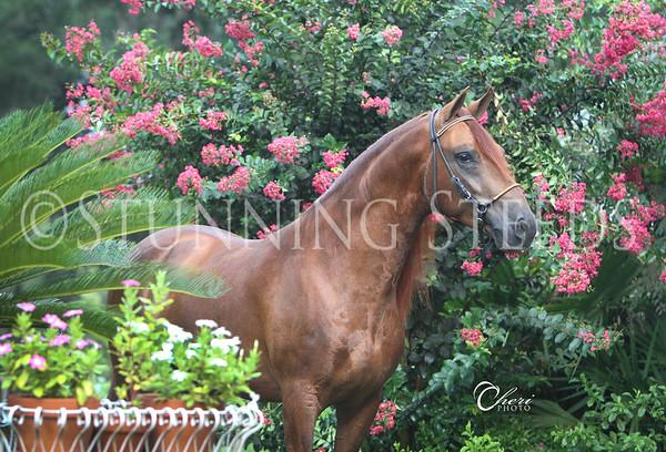I-Q - United Paso Fino Show Horses
