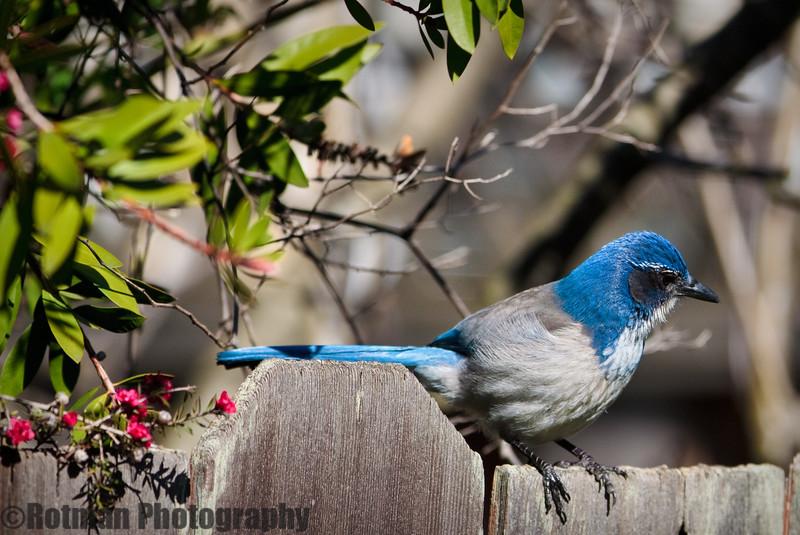 Blue Jay-7604.jpg