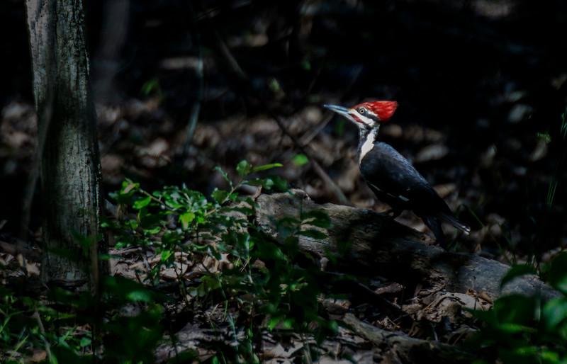 5.24.17 - Prairie Creek Recreation Area: Pileated Woodpecker.
