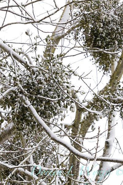 Misteltoe in the oaks with snow_4191.jpg