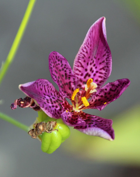 Purple spotted lily