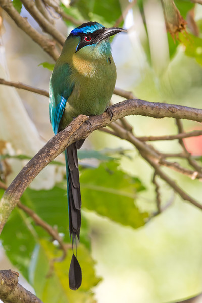 Blue-crowned Motmot - Hotel Bouganvillea, Heredia, Costa Rica