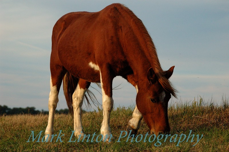 One of the famous Chincoteague Is. ponies shot at sunset