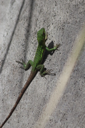 Green Tree Anole