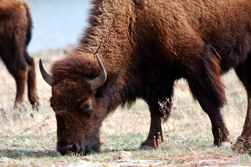American Bison-3