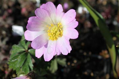 Anemone blanda 'Twinkeling Eyes'.jpg