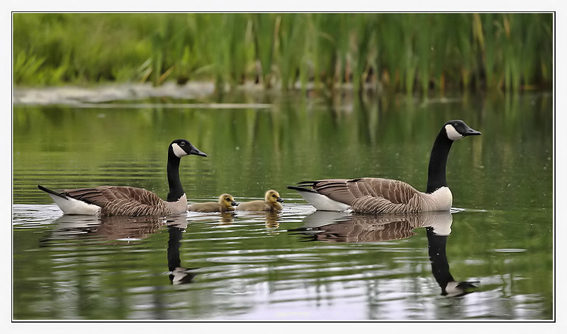 Canadian Goose family at Golf course Middlebury, VT