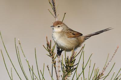 Grassbirds-Reed-Warblers