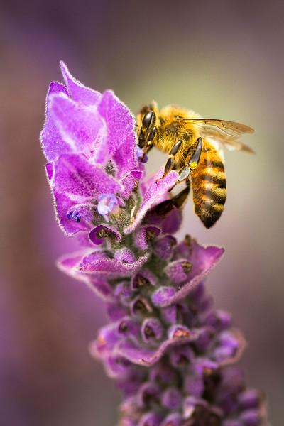 Bee on Lavender 20140803(13x19.5)mat.jpg