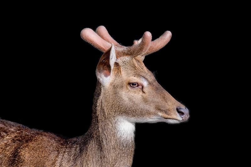 Head side view of a Eld's deer