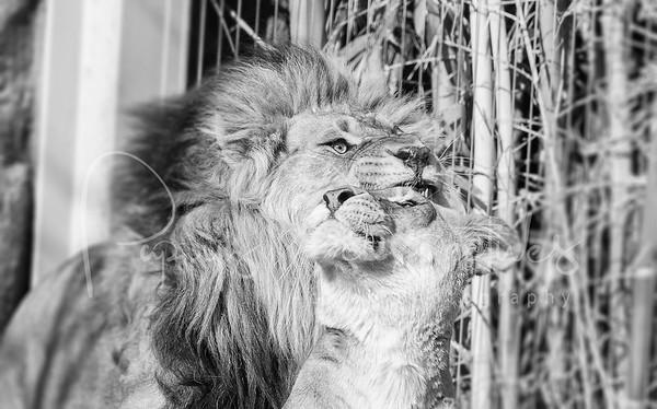 Lion Cubs - Reid Park Zoo, Tucson, AZ