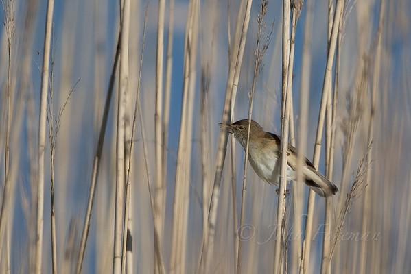 Marsh Warblers