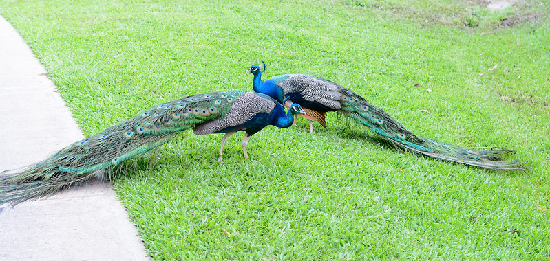 Two male peacocks