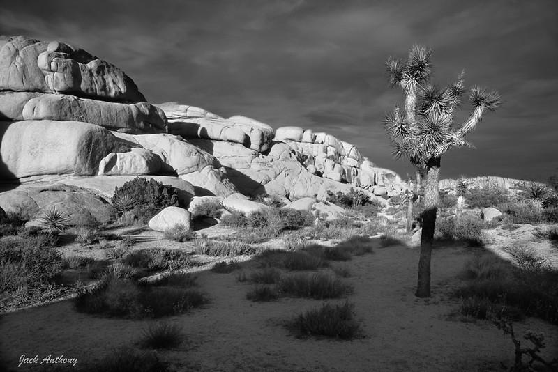 Joshua Tree 2-.jpg