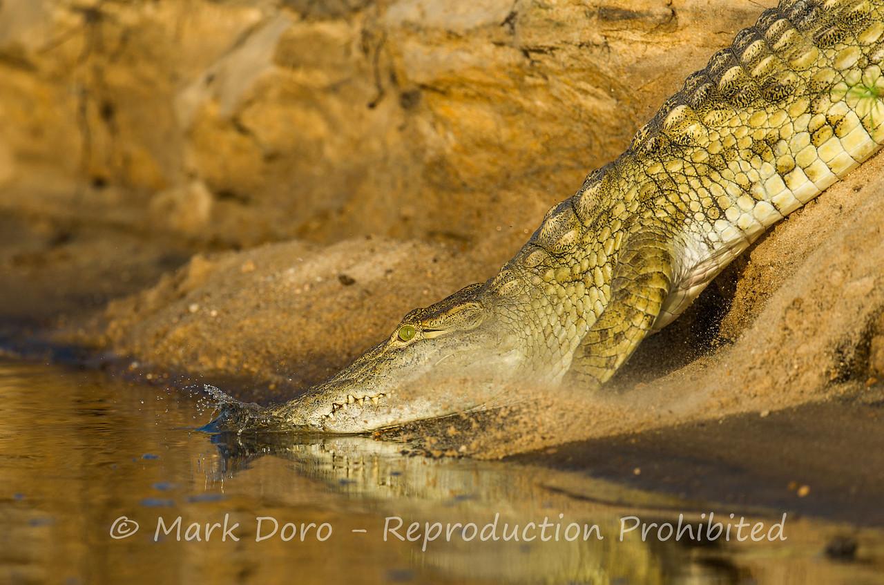 Nile Crocodile, Rufiji River, Selous, Tanzania