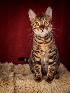 FINAL Toyger TickedTICA 17-11-13