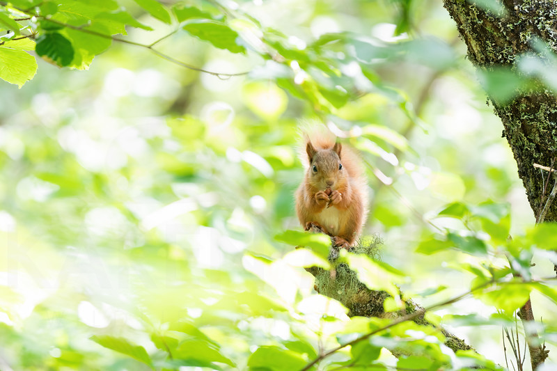 Nature: Red Squirrels in Summer