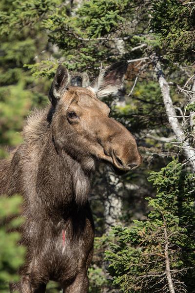 Moose on the Skyline Trail