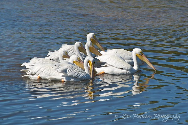 White Pelicans at Ding Darling Refuge