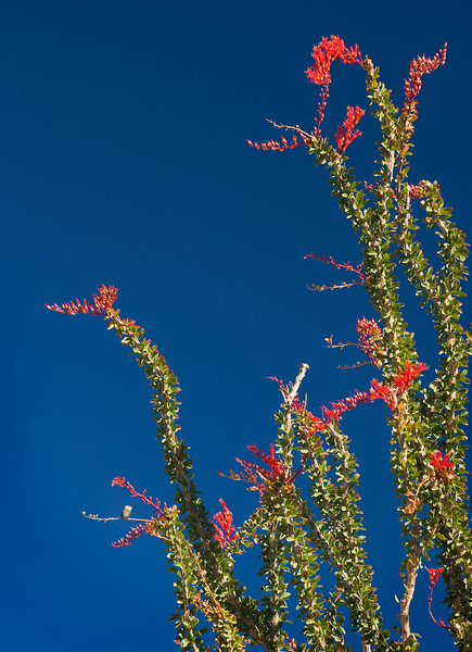 Humming bird taking a rest on a blooming ocotillo at Joshua Tree National Park