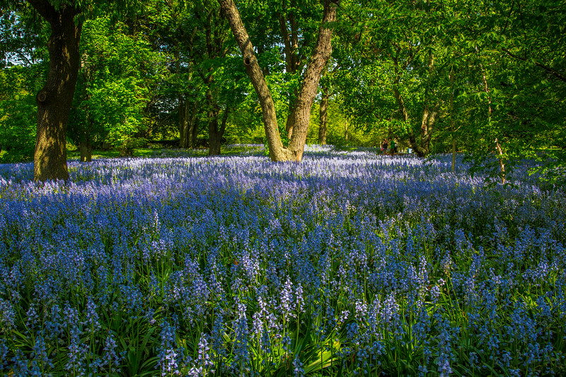 Field of bluebells, Brooklyn Botanic Gardens