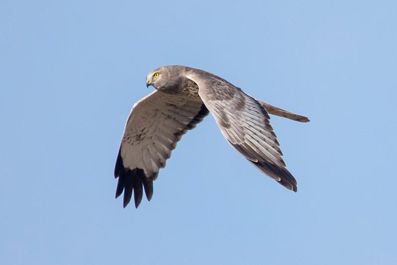 Northern Harrier - male - Laguna Seca Ranch-Edinburg, TX