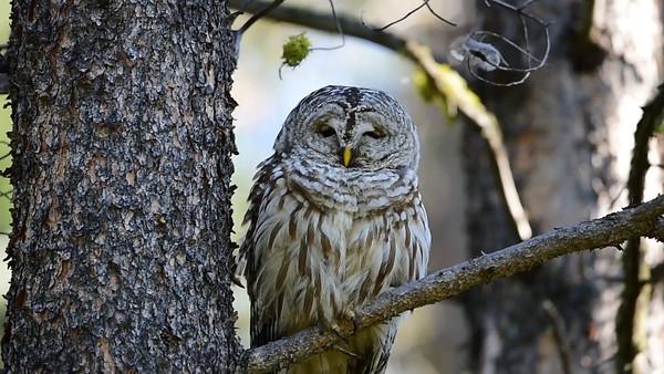 9-2-16 Video Barred Owl Sleeping