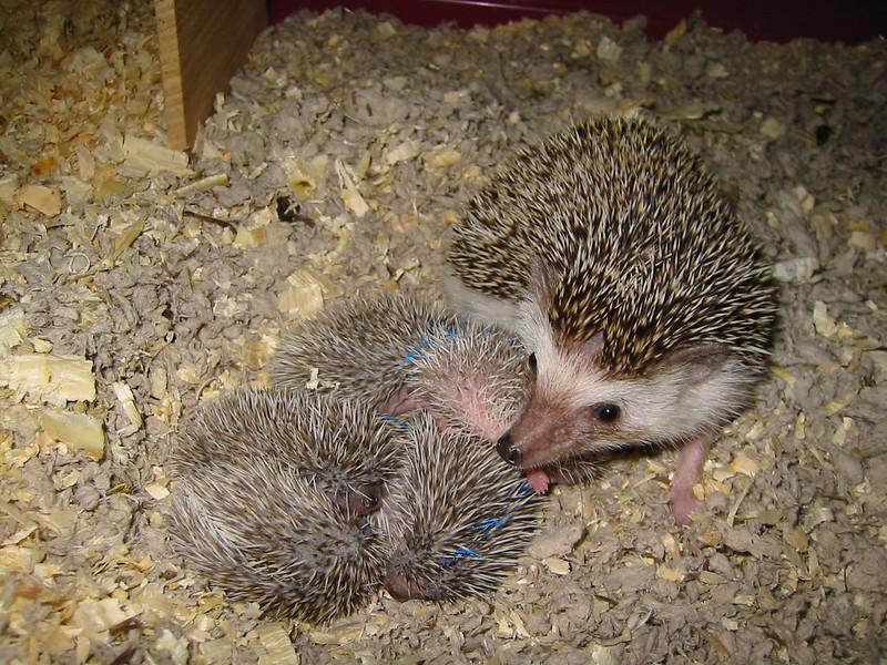 Litter - BB and Buttercup (04/25/2004)  10-11 days old. Buttercup's maternal and foster litters.  Filename reference: 20040506-130653-HAH-Hedgehog_Babies