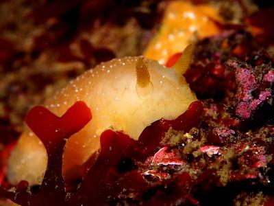 Baptodoris mimetica (mimic dorid)