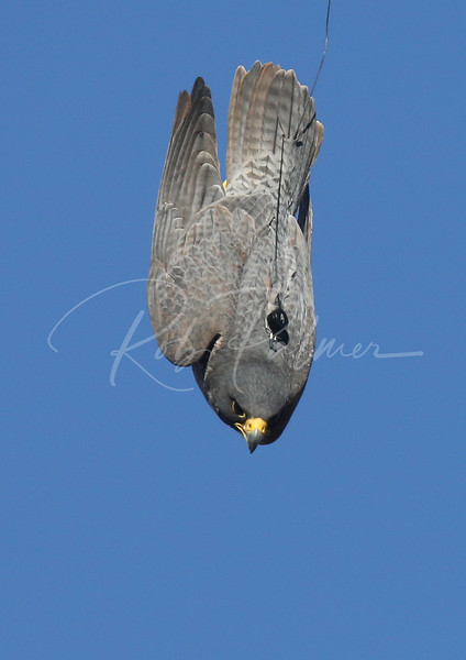 Peregrine Falcon in power stoop or dive.