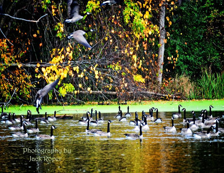 Geese  in the Fall .jpg
