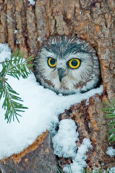 Owl - Northern Saw-whet - (captive) - Houston, MN - 02