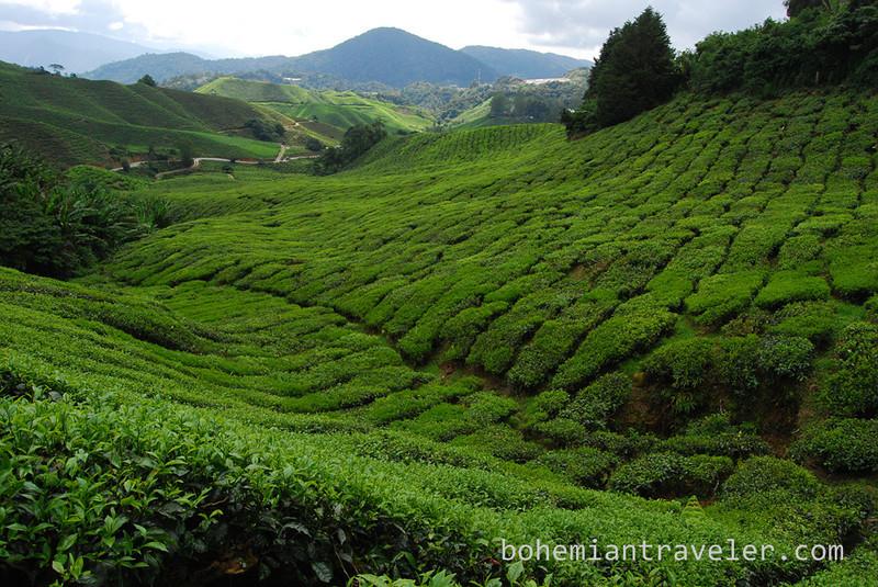 Cameron Highlands Malaysia Tea fields [Boh] (4).jpg