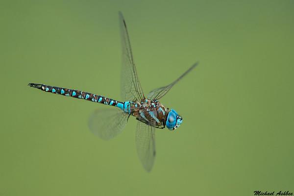 Blue eyed Darner