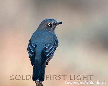 Townsend's Solitaire, Cabin Lake OR, USA