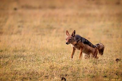 Svartrygget sjakal (Black-backed jackal)