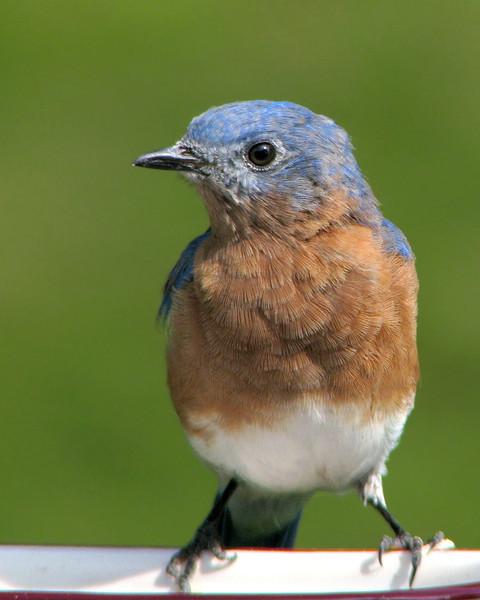 bluebird_fledgling_5152.jpg