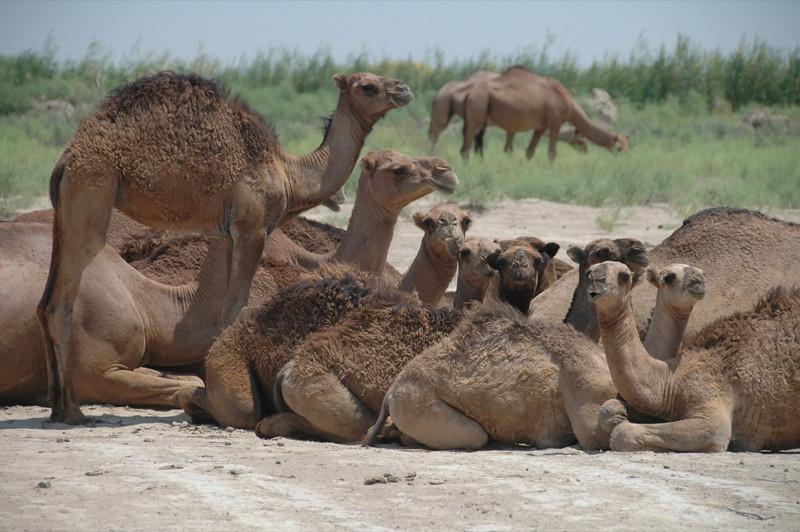 Young Camels - Gonur Depe, Turkmenistan