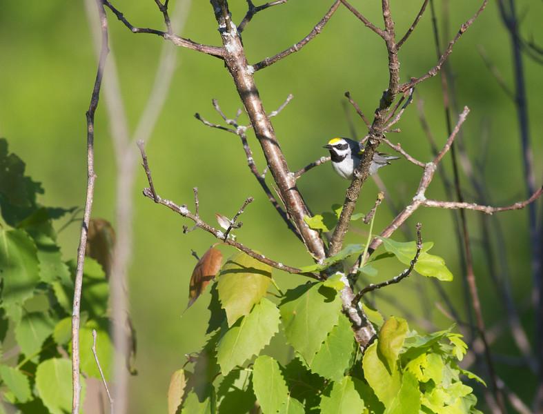 Golden-winged Warbler Crex Meadows Grantsburg WI-0170.jpg