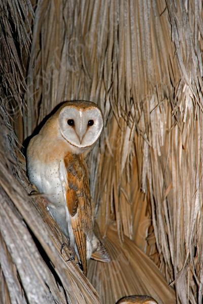 Barn Owl (Tyto alba) תנשמת לבנה