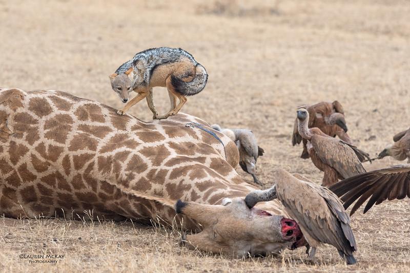 Black-backed Jackal & White-backed Vulture, Mashatu GR, Botswana, May 2017-8.jpg