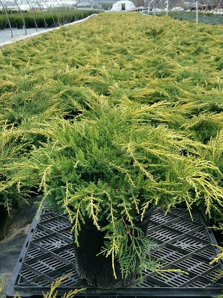 Juniperus chinensis 'Gold Star' #2.jpg