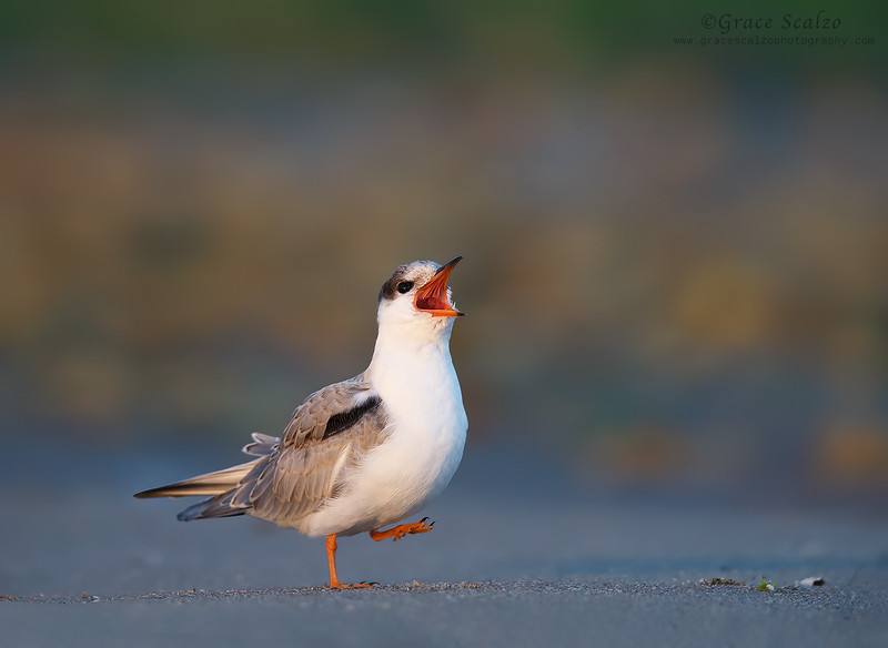 Common Tern Juvenile begging