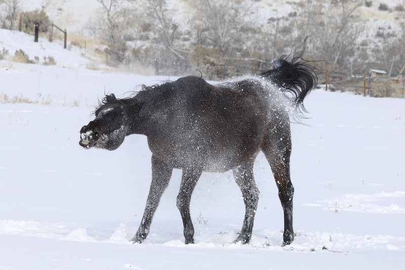 Mr Tudball shaking off the Owyhee snow, Idaho