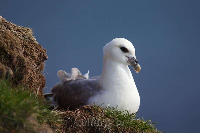 Northern fulmar sits on the adge of a cliff