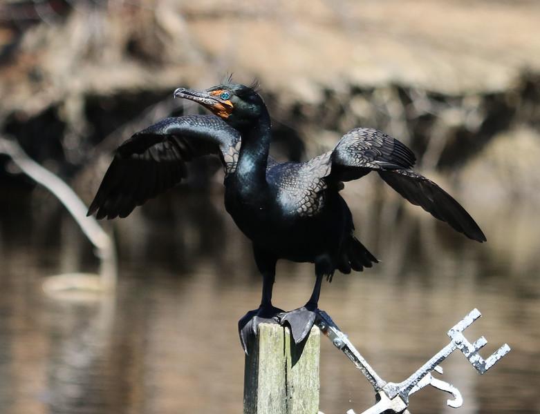 cormorant maine 1.jpg