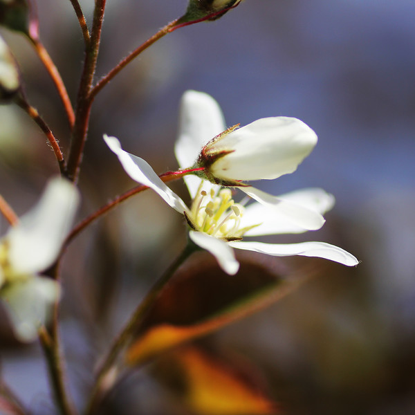 squarewhiteblossom.jpg